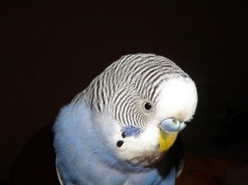 Голубой волнистый попугай смотрит