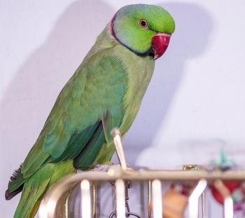 Изумрудный ожереловый попугай