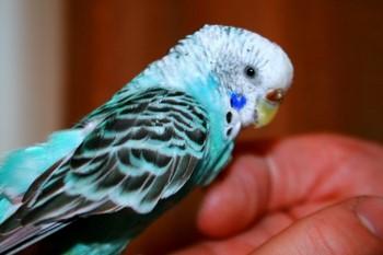 Красивый волнистый попугай на руке