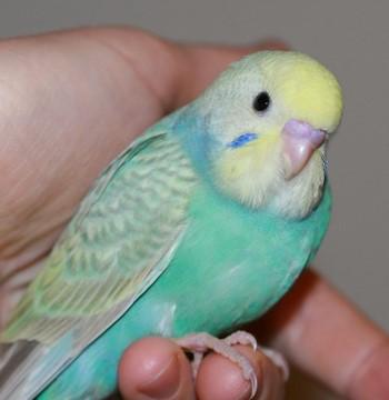 Красивый и очень нежный попугай