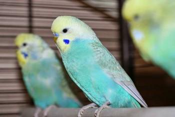 Красивый волнистый попугайчик нежного цвета