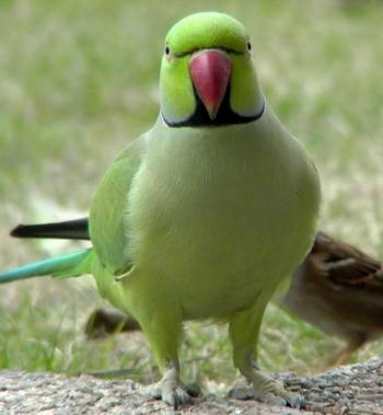 Крупный ожереловый попугай