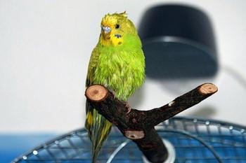 Мокрый волнистый попугай сидит на ветке