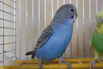 Молоденький волнистый попугай в клетке