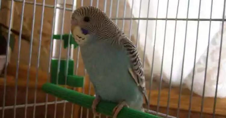 Молодой волнистый попугай сидит в клетке