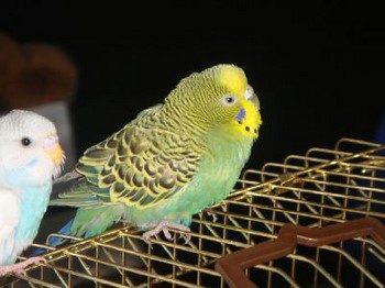 Небольшой волнистый попугайчик сидит на клетке