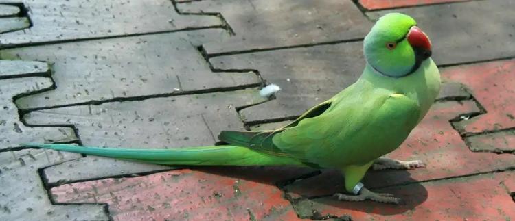 Ожереловый попугай гуляет по тротуару