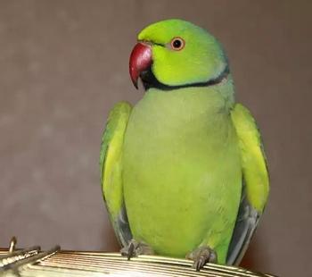 Ожереловый попугай сидит на клетке