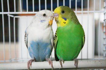Пара волнистых попугайчиков