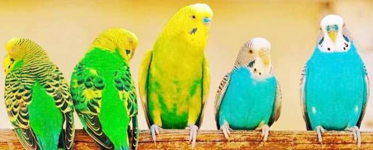 Пять волнистых попугайчиков
