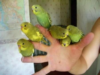 Пять волнистый попугайчиков сидят на руке