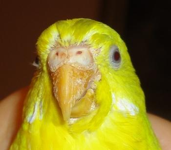 Щелушится клюв у волнистого попугайчика