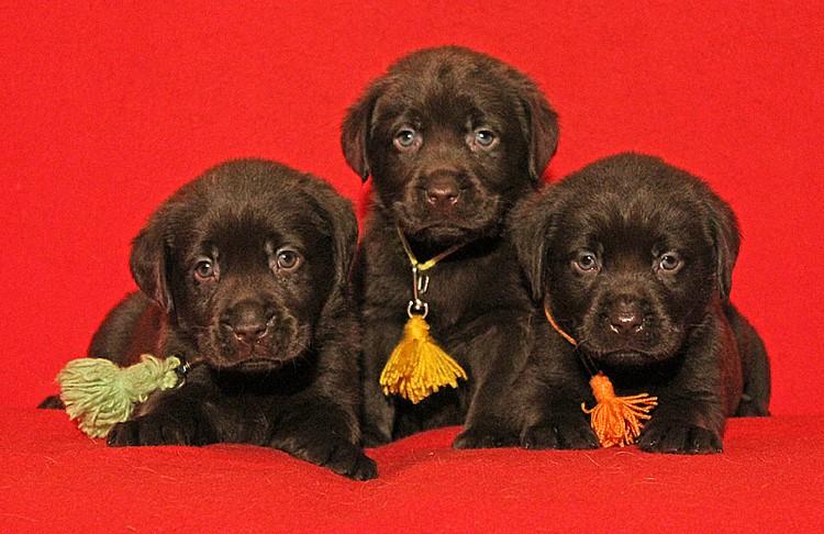 Три щенка черного лабрадора