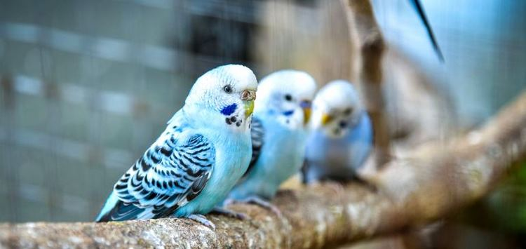 Три волнистых попугайчика на ветке дерева