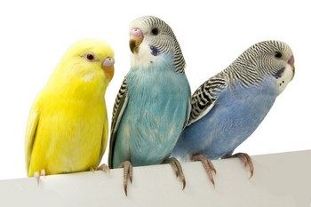Три волнистых попугайчика