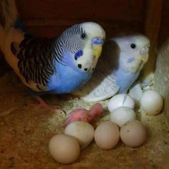 Волнистые попугаи со своими яйцами и птенцом
