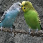 Волнистые попугаи воркуют
