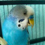 Волнистый попугай с длинным клювом