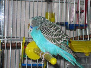 Волнистый попугай сидит в клетке