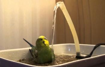 Волнистый попугай смотрит как льется вода