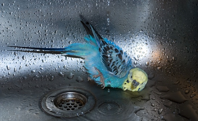 Волнистый попугай упал в раковине