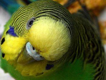 Волнистый попугайчик крупным планом