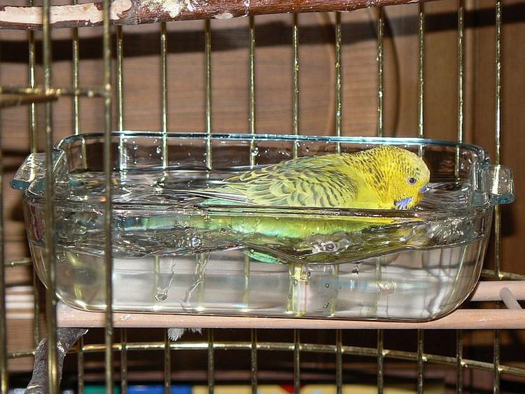 Волнистый попугайчик купается в полной тарелке
