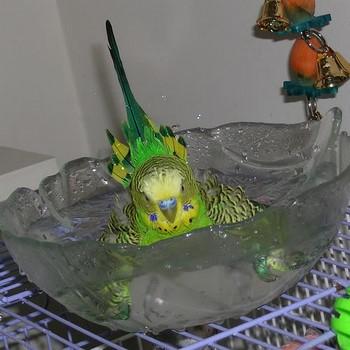 Волнистый попугайчик купается в полной чаше