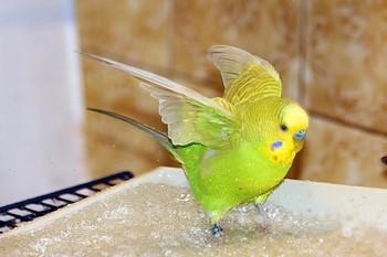 Волнистый попугайчик купается в воде
