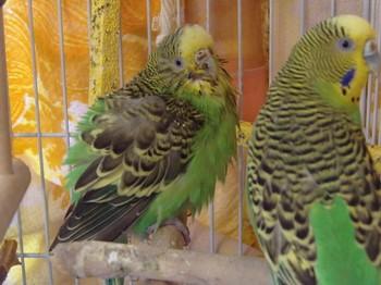 Волнистый попугай болеет и нахохлился