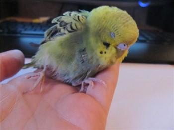 Волнистый попугай болеет и спит