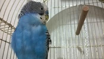 Волнистый попугай сильно нахохлился