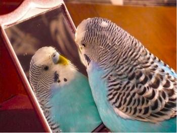 Волнистый попугай смотрится в зеркало