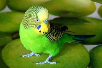 Зеленый волнистый попугай сидит на скатерти