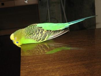 Зеленый волнистый попугайчик болеет