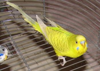Желтый попугай сидит на клетке