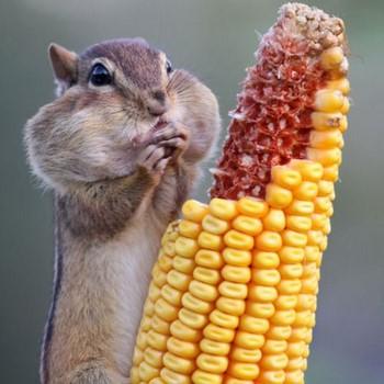 Бурундук набил полные щеки еды