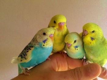 Четыре волнистых попугайчика