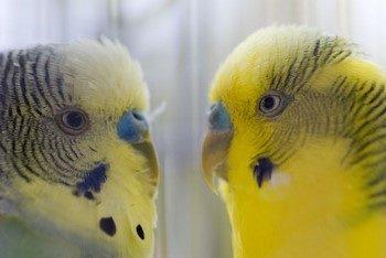 Два красивых волнистых попугая