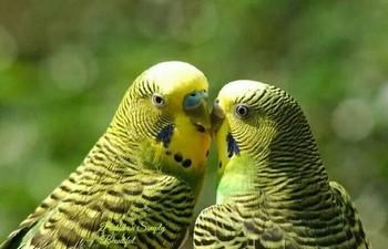 Два зеленых волнистых попугайчика