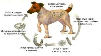 Как заражается собака глистами