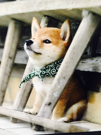 Красивое фото щенка акиты