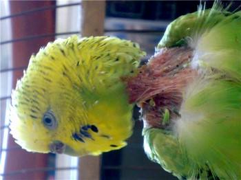 Лысая шея у волнистого попугая из-за клещей