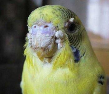 Много наростов на клюве и восковице у волнистого попугая
