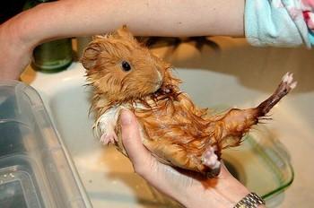 Мокрая морская свинка
