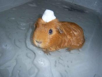 Морская свинка плавает в ванной