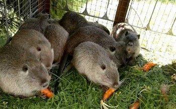 Нутрии едят морковку
