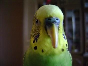 Очень длинный клюв у волнистого попугайчика