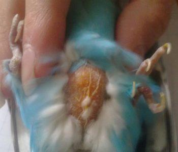 Опухоль у волнистого попугая на животе