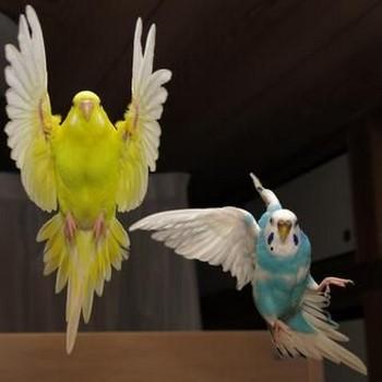 Полет волнистых попугаев
